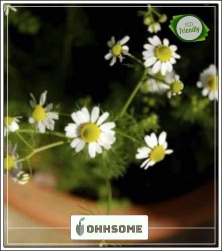 piante di erbe pinkdose per coltivare - kami-ture camomilla kitchen garden pack seed