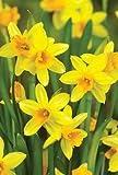 100 x Narcissus ' Tete a Tete ' - Spring Flowering Dwarf Rockery Bulbs - Free UK P & P
