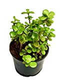#5: Plant House Live Crassula/Jade Small Leaves Lucky Ornamental Plant with POT