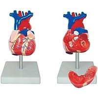 66fit Lebensgroßes, anatomisches Modell des Herzens - med. Ausbildungshilfe