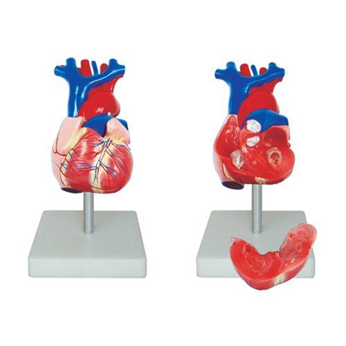 66Fit Unisex-Erwachsene Lebensgroßes Herz Modell (Modell Herz)