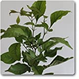 Bel Tree, Bilva Patra, Bel Patra ( Grown through seeds ) - Plant