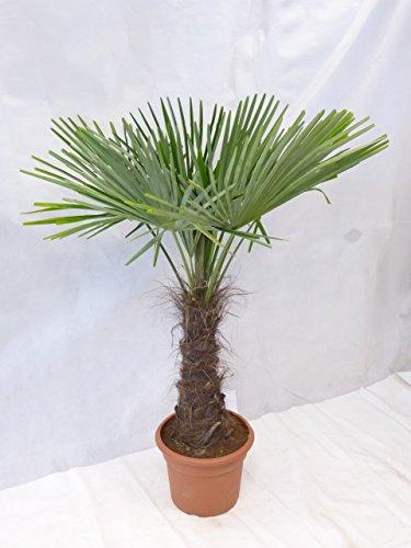 - Winterharte Palme - Trachycarpus fortunei 180 cm - Stamm 60 cm 'Chinesische Hanfpalme' -17°C