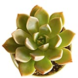 9Blooms Natural Small Echeveria Blue Prince Plant - Outdoor / Indoor Oxygen & Air Purifier Succulent Plant for Home, Living Room, Table, Office Desk, Wedding or Party Decor - In 3 to 4 inch Pot by 9blooms
