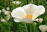 Kalifornischer Mohn White Linen - 500 Samen