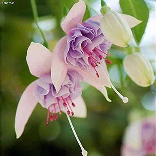 portal cool e037684 rari semi sani fucsia seeds lanterna fiore vivo facile da coltivare so3