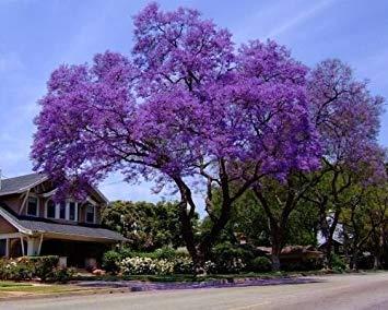 vegherb Königliche Empress Baum Samen/Blumensamen schnell wachsenden wächst überall/Perennial
