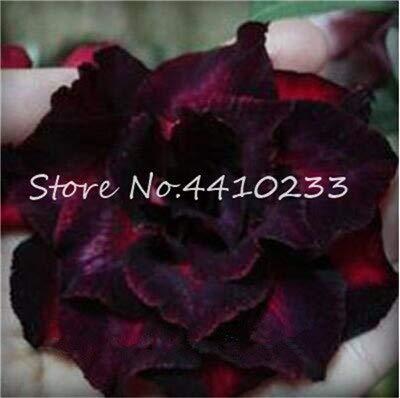 GEOPONICS SEMI: 2 pezzi di vero Adenium Esotico Fiore rosa del deserto Bonsai Fiori in vaso Balcone Bonsai multicolori Petali Piante grasse e Tree: