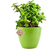 Abana Homes Beautiful Good Luck Jade Plant with Ceramic Pot