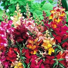 Snapdragon 'Frosted Flames' / Antirrhinum majus / Seeds