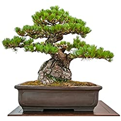 Cuir Dor - 25 Semillas Bonsai pino negro japonés (Cercis siliquastrum)