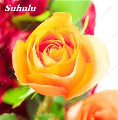De nouvelles semences 2017! 24 Couleurs Rose Graines Plantes vivaces Rose pot de fleurs Graines cour et balcon extérieur Plant-150 Pcs 3