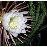Selenicereus grandiflorus (Königin der Nacht) - Steckling 10 cm