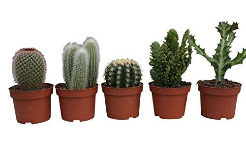 Plants de cactus - Ensemble de 5 plants de cactus d'intérieur de grande taille - 14 à 20 cm de hauteur, dans un pot en plastique de couleur terre cuite