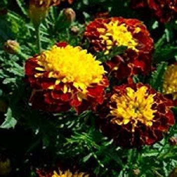 plat firm germinazione i semi platfirm-fresh heirloom non-ogm squash oro zucchini 50 semi i rendimenti pesanti facile da coltivare
