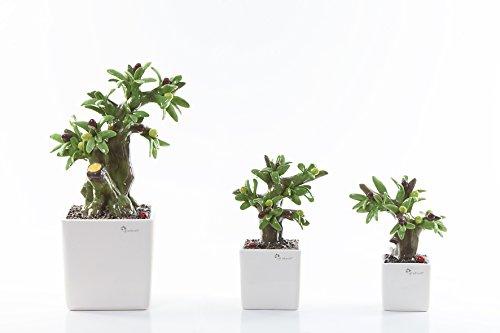 Gli alberelli fantasia in bonsai con frutti profumatore in capodimonte (ulivo, grande cm26*34)