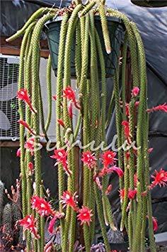 geoponics 200pcs potteds epiphyllum seme semi balcone bonsai per il giardino e la casa quattro stagioni di semina facile da coltivare 7