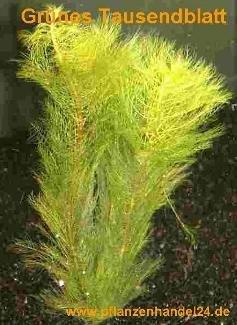 1 Bund grünes Tausendblatt, Myriophyllum