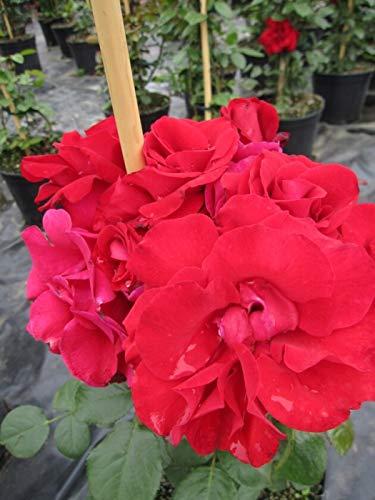 Kletterrose Santana® - Rosa Santana® - feurig-rot - Duft+ - Tantau-Rose