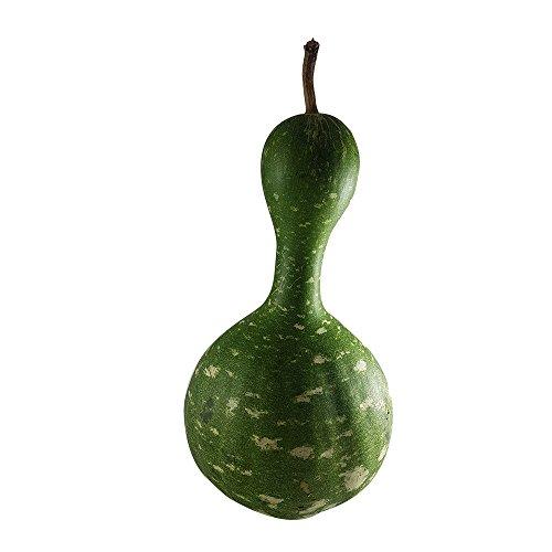 Kürbisplanet 1 Flaschenkürbis Kalebasse, frischer Zierkürbis, Höhe ca. 30 cm - perfekte Dekoration - zur Herstellung von Gefäßen