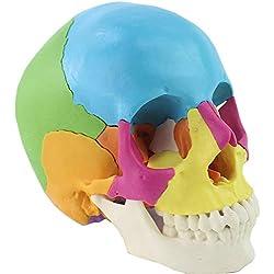 Minsong Cráneo Humano De Color, Modelo De Cráneo Con Anatomía Desmontable, 22 Partes