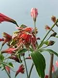 Alstroemeria psittacina 'variegata'