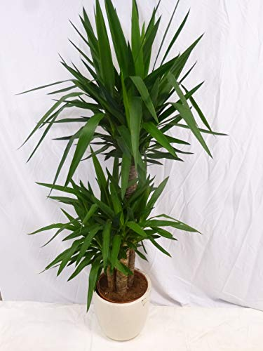 [Palmenlager] - Yucca elephantipes 170 cm - 3er Tuff // Zimmerpflanze - Yucca Palme