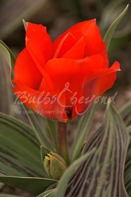 """100 Stück Tulpen """"Rotkäppchen"""" (Zwiebelgröße 12/+cm) - KOSTENFREIE LIEFERUNG! von Bulbs & beyond bei Du und dein Garten"""