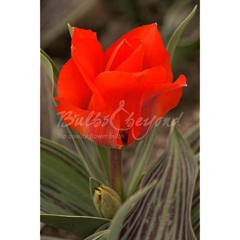 100 Bulbi di tulipani