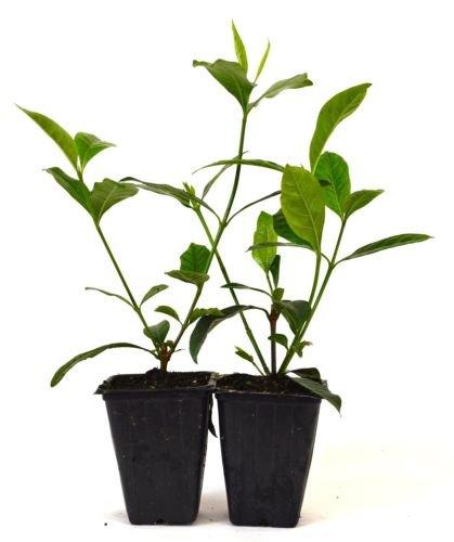 Gardenia jasminoides-