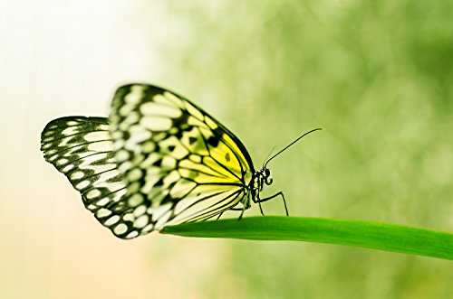 Schmetterling Makro-Aufnahme Foto Pearl Poster 30 x 40 cm