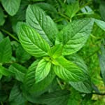 SeeKay Peppermint Appx 2,000 seeds 'M...