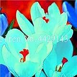 Vente 200 pièces Safran Fleur Végétaux, Safran Bulbes, Bonsai Fleur Iran Crocus pour Plantes en Pot Jardin Décoration Bonsai: 13...