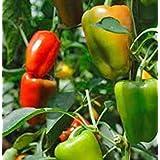 GEOPONICS Pimiento, Maravilla, herencia, orgánico 25+ semillas, frutos grandes WEET