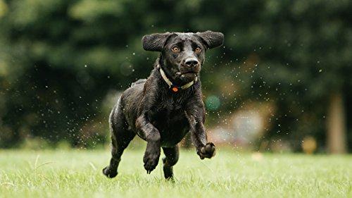 PitPat - Dog Activity Monitor 3