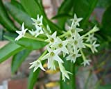 Plant House Live Raat Ki Rani/Night Blooming Jasmine Beautiful Flower Plant With Pot