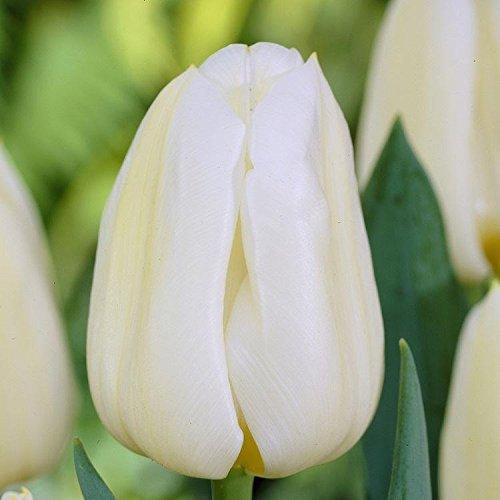 tulipa-calgary-cream-flamed-yellow-tulips