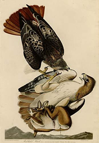 Berkin Arts John James Audubon Giclée Leinwand Prints Gemälde Poster Wohnkultur Reproduktion(Red Tailed Hawk) Große größe 99 x 142.7cm #SDFB