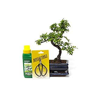 Bonsai Elm parvifolia S Style 7 yr, Gift Set - 1 Tree by Bonsai2u