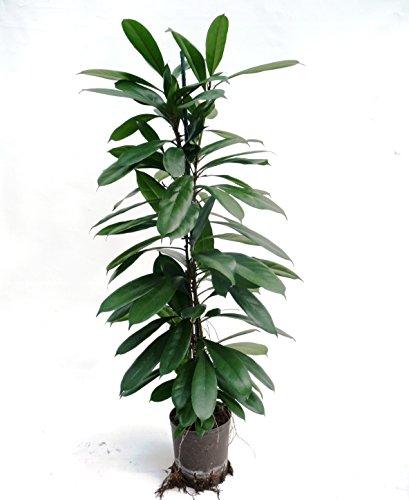 Ficus benjamini 100-120 cm, in Hydrokultur (18/19er Kulturtopf), große-pflegeleichte Zimmerpflanze, für Schatten, Ficus cyathistipula