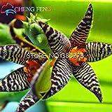 100pcs Stapelia Samen Lithops Mix Succulents Rohstein Kakteensamen Seltene Frische