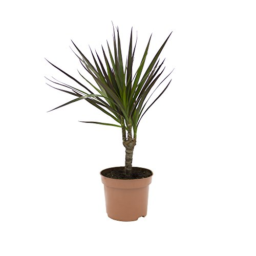 Ananas-Baum, Dracena marginata, 1 Pflanze, 10-12 cm Topf, ca. 30cm hoch inkl Topf