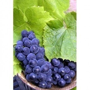 Vitis riparia 5 Samen Riverbank grape, Uferrebe, Weintraube