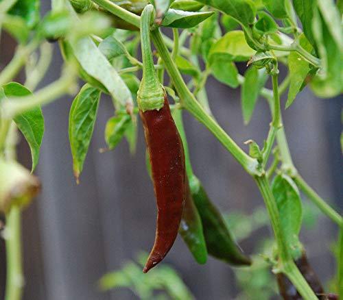 Portal Cool 25+ Frische Organisch gewachsen Erbstück Aji Panca Pepper Samen-E 036