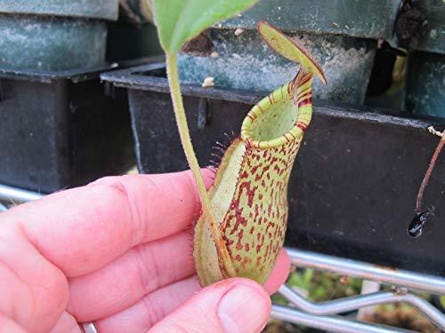 PLAT FIRM GERMINATIONSAMEN: Fleisch fressende Nepenthes Hybrid Helen x Spectabilis Topf Tropical Knappe W45