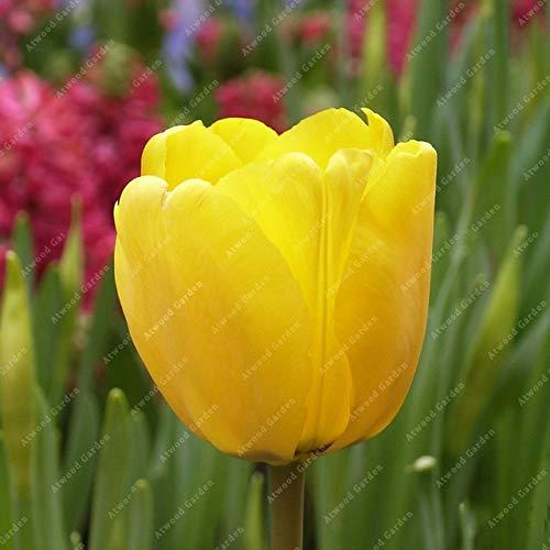 Shopmeeko GRAINES: 2 pièces National Fleur Tulipe de vivaces Jardin Plantes nombreuses variétés Bonsai colorés cadeaux de haute spécification Fleurs: 2TulipsYellow