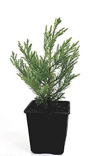 2 Pflanzen (Seedeo Berg - Mammutbaum (Sequoia. gigantea) Pflanze 2 Jahre)