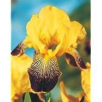 Iris germanica Purple and Yellow / Iris germanica Púrpura y amarillo - bulbo / tubérculo / raíz