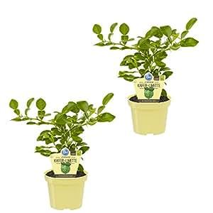 Amazon.de Pflanzenservice Kräuter, Kaffir-Limette, Citrus hystrix, grün