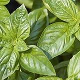 Indian Gardening Italian Large Leaf Basil Flower Herb Seeds 100 Seeds